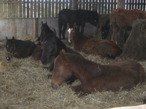 Foals in the covered barn on a wet and windy winters day